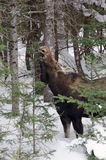 Female moose feeding Stock Image