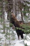Female moose feeding Stock Image