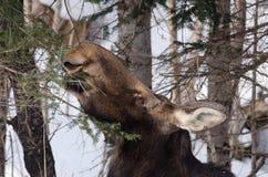 Female moose feeding (close-up) Stock Photos