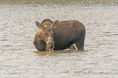 Female Moose Feeding on Lake Vegetation Royalty Free Stock Photo