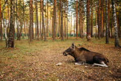 Female moose in forest reserve Royalty Free Stock Photography
