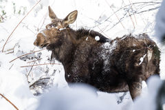 Female Moose in fresh Snow Stock Photography