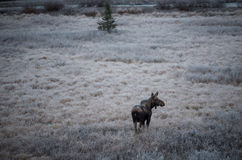 Female moose grazes  Stock Image