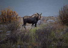 Female moose grazes Stock Photography
