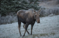 Female moose grazes Royalty Free Stock Photos