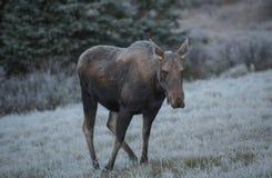 Female moose grazes Royalty Free Stock Photos