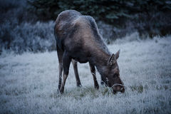 Female moose grazes  Royalty Free Stock Images