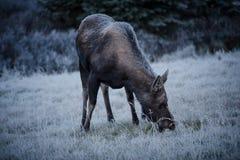 Female moose grazes  Royalty Free Stock Images