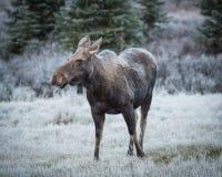 Female moose grazes  Stock Image