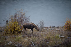 Female moose grazes Royalty Free Stock Photography