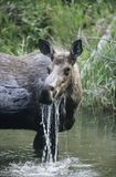 Female moose in lake Royalty Free Stock Photo