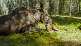 Female moose lick all over her calf