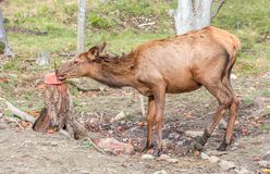 Female Moose Licking Salt Block stock images