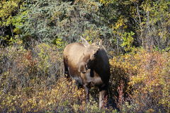 FEMALE MOOSE LOOKING AT CAMERA IN FALL FORREST COLOURS. Female Moose in the wild looking at camera in afternoon sunlight fall forrest colours Royalty Free Stock Images