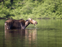 Female moose mammal A Stock Image