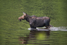 Female moose mammal C Royalty Free Stock Images