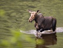 Female moose mammal D Stock Image