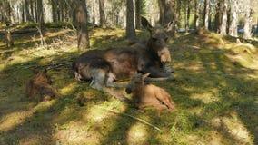 Female moose with newborn calves stock video footage