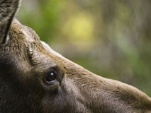 Female moose's head stock images