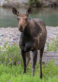 Female Moose Stands in Green Brush Stock Image