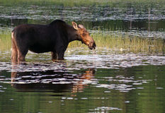 Female moose in the swamp royalty free stock photo