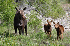 Female moose with two calfs eating Royalty Free Stock Image