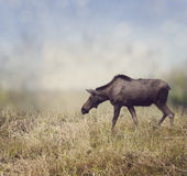 Female Moose Walking Stock Images