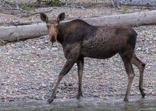 Female Moose Walks on Rocky Beach Stock Image