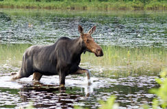 Female moose walks through the swamp Royalty Free Stock Photo