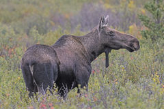 Female Moose in the Wilderness Stock Photos