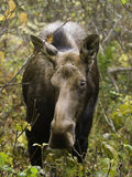 Female moose wilf Royalty Free Stock Images