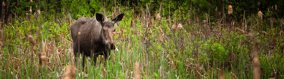 Female Moose Royalty Free Stock Images