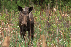 Female Moose. A young female moose as come in the swamp to eat some cattail Stock Photos
