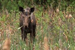Female Moose Stock Photos