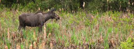 Female Moose. A young female moose as come in the swamp to eat some cattail Royalty Free Stock Images
