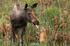 Female Moose. A young female moose as come in the swamp to eat some cattail Stock Photography