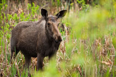 Female Moose. A young female moose as come in the swamp to eat some cattail Stock Photo