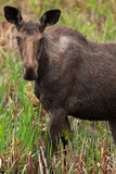 Female Moose. A young female moose as come in the swamp to eat some cattail Royalty Free Stock Image