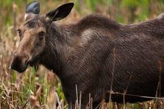 Female Moose Stock Photography