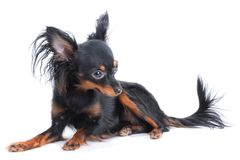 Female Moscow  toy terrier Royalty Free Stock Photography