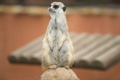 Female mother meerkat Stock Image