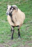 Female mouflon. View of a female mouflon (wild sheep Stock Image