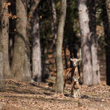 Female mouflon with kid Stock Photos