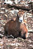 Female mouflon sheep laying on the ground stock image