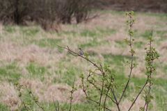 A female mountain bluebird sitting on a small tree stock photography