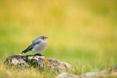 Female Mountain Bluebird, Yellowstone Royalty Free Stock Photos