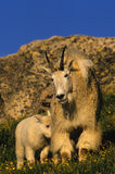 Female Mountain Goat with Kid. A female mountain goat standing in the alpine with her kid by her side Stock Photography