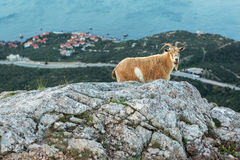 Female mountain goat on the top of mountain Ilyas Kaya in Crimea Stock Photos