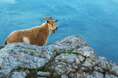 Female mountain goat on the top of mountain Ilyas Kaya in Crimea Stock Photography
