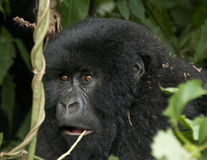 Female mountain gorilla Stock Images